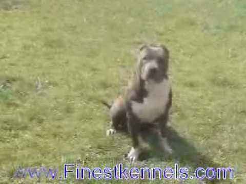 Pitbull Puppies Dogs For Sale In Louisville Kentucky Ky