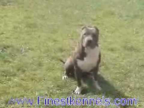 Puppies For Sale, California, Las Vegas Pitbulls - Pitbull Stud