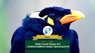 GACOR MANIA - BURUNG BEO MAHIR EMPAT BAHASA DARI ASSALAMU 'ALAIKUM SAMPAI NGOMONG JOROK, GOKIL CUY!