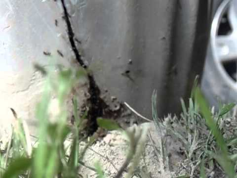 Diatomaceous Earth vs. Texas Fire Ants in a Potted Tobacco Plant
