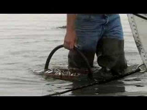 Maine Clam Diggers