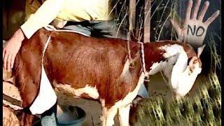 8 मुस्लिम लोगों ने गर्भवती बकरी के साथ किया दुष्कर्म अब लड़कियाँ तो क्या जानवर भी नहीं सुरक्षित