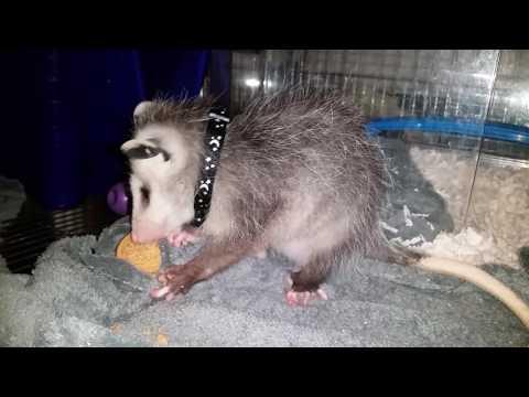 Cute Pet Opossum LOVES Cookies