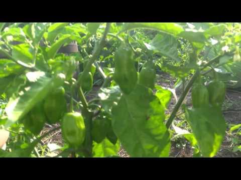 My Vegetable Garden Part 4
