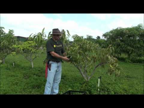 Pruning Young Mango Trees
