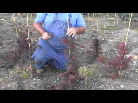 Training Japanese Maples To Grow Properly