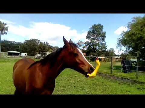 HORSE PLAYING WITH CHICKEN TOY