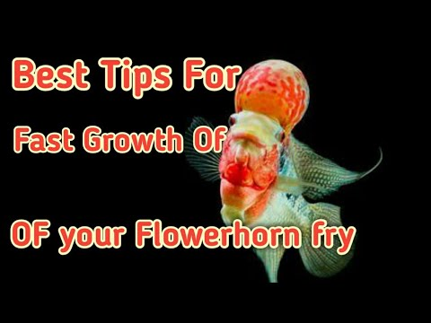 Best tips for fast growth of your Flowerhorn fry| 100% guaranteed growth