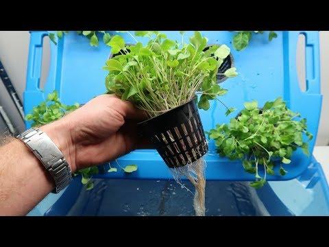 How to Grow Microgreens Hydroponically