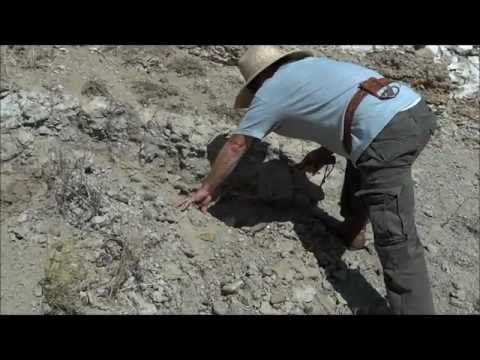Digging for Fossil Pismo Clams