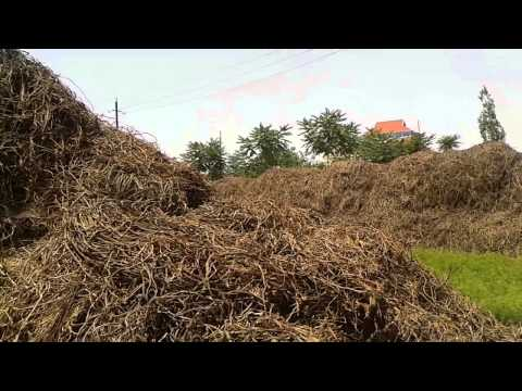 Licorice Root Farm in Russia | Tea Pursuit