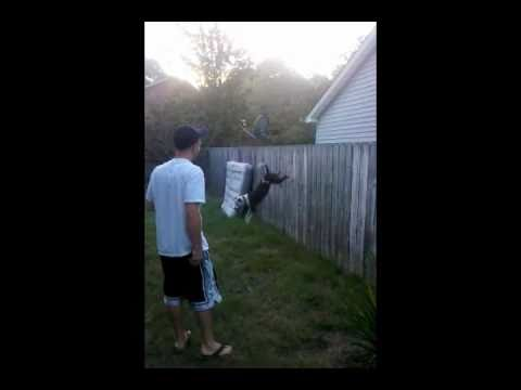 Dog Jumps Over 6 Foot Fence