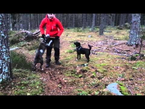 Elli the boxer/french bulldog mix