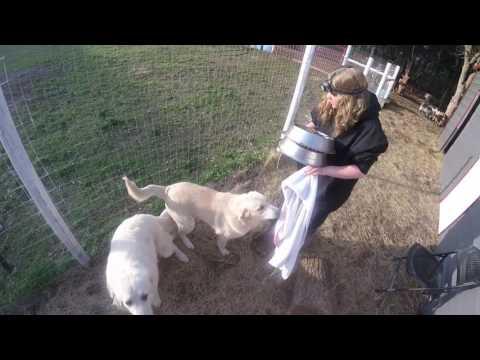 Baby Goat is born, very weak