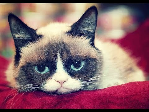 THE MOST CUTE Grumpy Cat has naturally round face, MUST SEE !!!