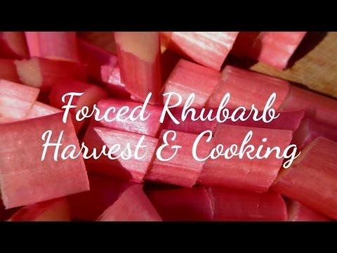 Forced Rhubarb Harvest & Cooking (Raw Taste Test)