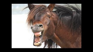 Funny Horse Videos 2017 - Try Not To Laugh Funny Horses  Compilation