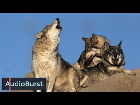 Do Wolf Dog Hybrids Make Good Pets? Some Things To Consider