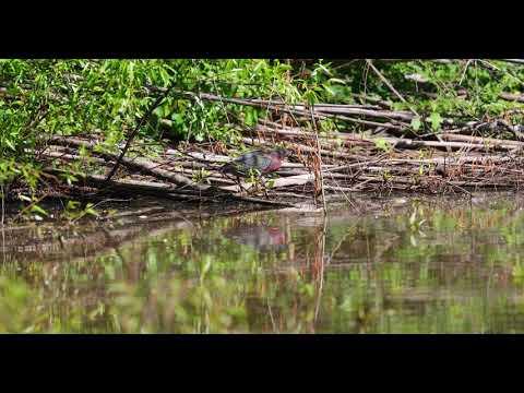 Green Heron striking at Clyde Shepard NP May 1st 2018
