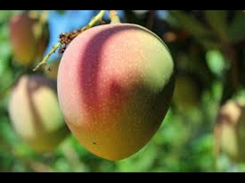 How to Select and Buy the Right Mango Tree for YOU - Make a Good Investment in a Fruit Treasure