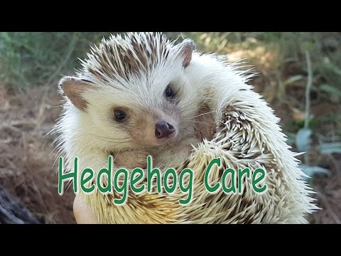 Hedgehog Care - Requested