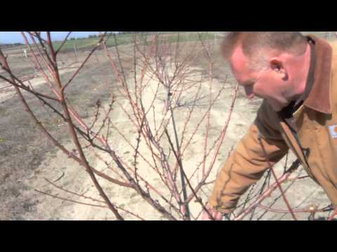 Pruning a Two-Year Old Peach Tree