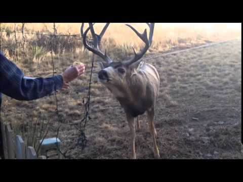 Deer Tangled in Christmas Lights - Rescued