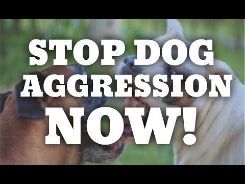 How to STOP dog aggression now! America's Canine Educator works with aggressive pit bull terriers