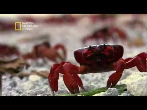 Christmas Island National Park -- Red crabs, males migrating