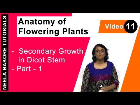 Anatomy of Flowering Plants - Secondary Growth in Dicot Stem - Part - 1