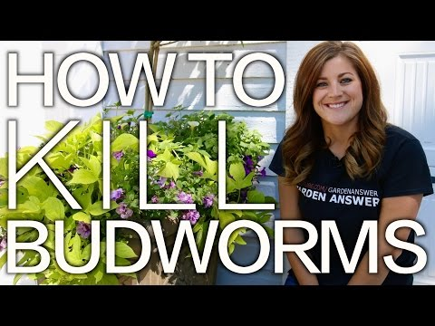Petunia Problems? How to Kill Budworms! // Garden Answer