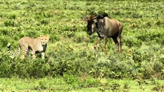 Cheetah teaching her cubs to hunt
