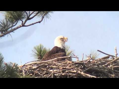 Baby eagle poop's out nest