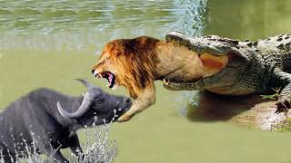 WOW! King Buffalo Too Lusty Is Real, Buffalo Against Crocodile To Rescue Fellow, Lion vs Crocodile