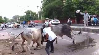 Download Live Fighting of Two Buffaloes on Indian Highway (Hindi) (1080p HD)
