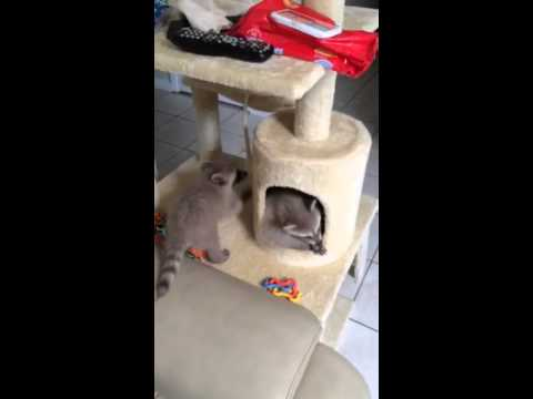 Baby raccoons playing in cat tree