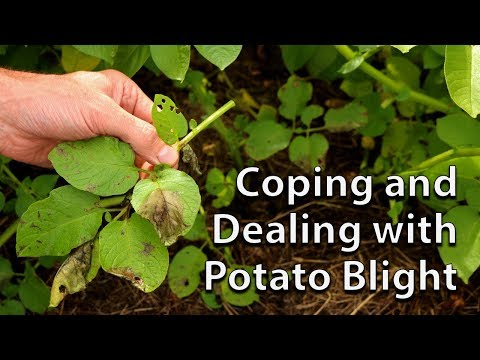 How to Save your Potato Crop if you get Blight