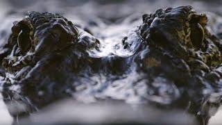 Spectacular Alligator Mating Display - Animal Super Senses - BBC