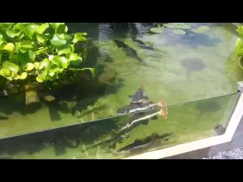 Arapaima, redtail catfish, peacock bass, stingray pond feeding