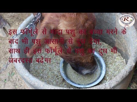 बच्चे के मरने के बाद मादा पशु का दूध न देने का देसी इलाज, Home remedies for not giving milk