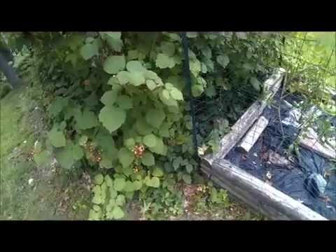 How to Transplant Raspberry Plants