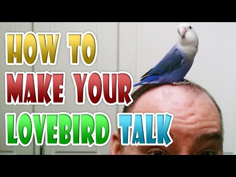 HOW TO MAKE YOUR PARROT TALK in 3 tips - Talking Lovebird Taming Parrot Talks Bird Talk Birb Ngekek