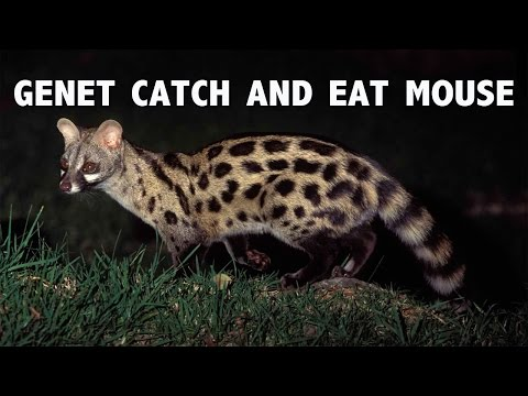 Lesser Spotted Genet catch and eat Field Mouse