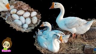 ห่านสองตัวกกไข่รังเดียวกันแถมขโมยไข่เป็ดมากกด้วย