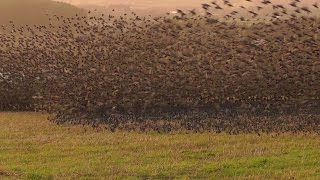 Mind Blowing Starling Murmuration - Exceptional Close Up in Cornwall