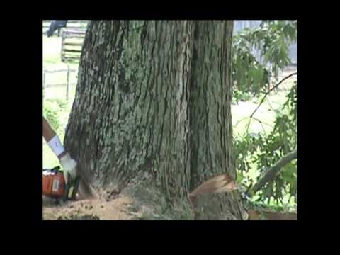 Cutting down a 400 year old Ancient Oak Tree