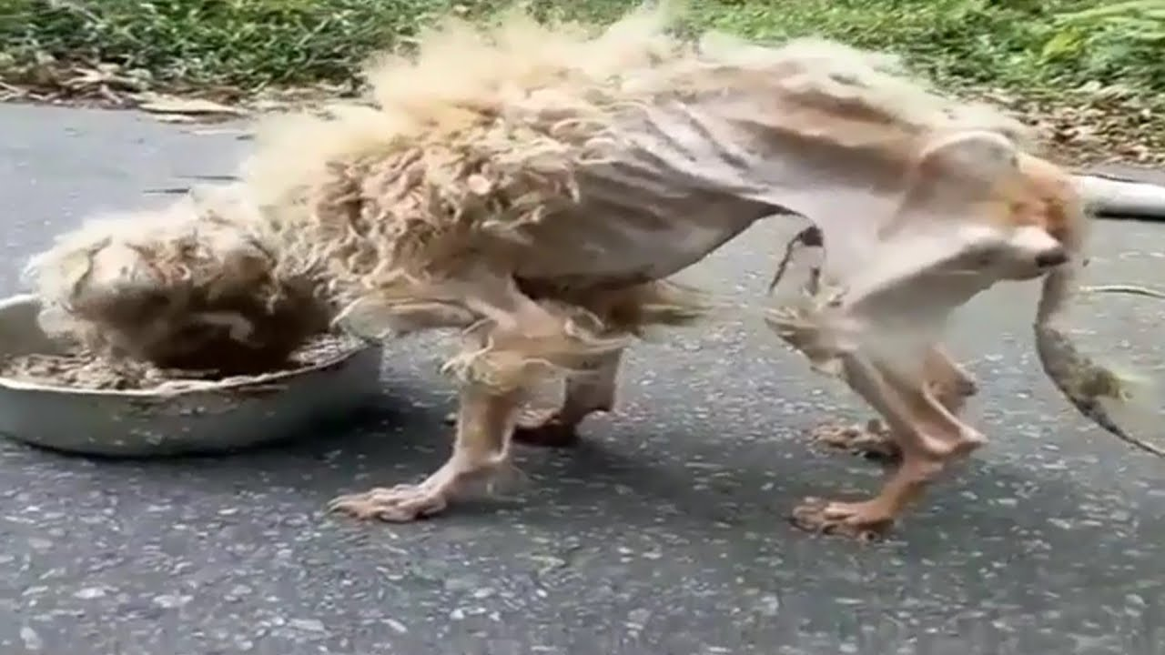 Amazing Transformation Of Starving Dog After Rescued Dog Rescue Stories