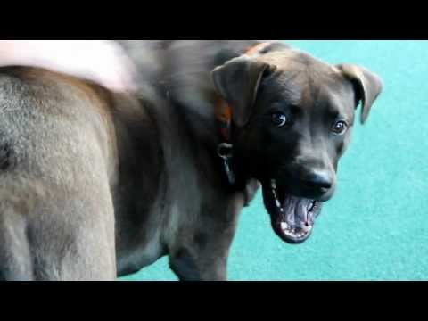 Cane Corso Pitbull Mix sheds ALL THE TIME - The Lighthouse Lady