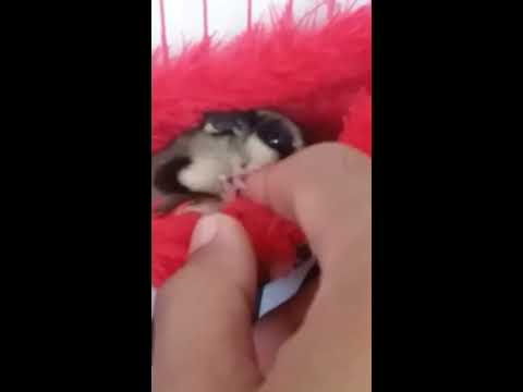 Sugar glider play & bite