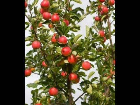 LEARN HOW TO GROW FUJI APPLES IN A CONTAINER - BY HAPPY TWIRL